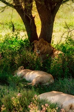 Preview iPhone wallpaper Summer, lions, tree, grass