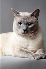 Thai cat, blue eyes, gray background