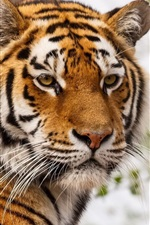 Preview iPhone wallpaper Tiger face, whiskers, eyes, predator