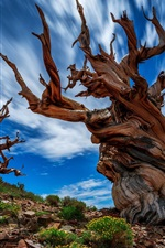 USA, California, Ancient Bristlecone Pine Forest, wood, rocks, blue sky
