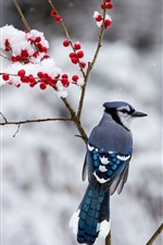 Preview iPhone wallpaper Winter, blue bird, snow, twigs, red berries