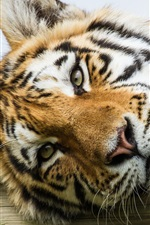 Preview iPhone wallpaper Amur tiger, eyes, face close-up