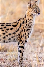 Preview iPhone wallpaper Animal serval, wildlife