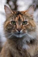 Preview iPhone wallpaper Cat portrait, face, blur background