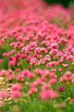 Flores Campos, verão, flores vermelhas