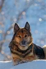 Preview iPhone wallpaper German shepherd dog, winter, snow