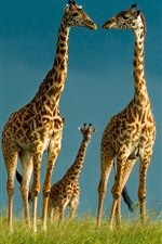 Preview iPhone wallpaper Giraffes, wildlife, sky, grass