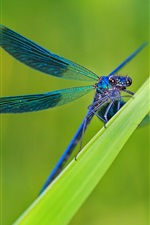 Preview iPhone wallpaper Green grass, leaves, blue dragonfly