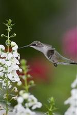 Hummingbirds close-up, birds, white flowers