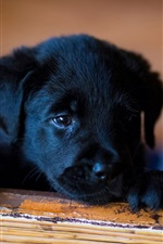 Preview iPhone wallpaper Little dog, black puppy