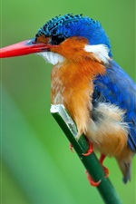 Preview iPhone wallpaper Malachite kingfisher