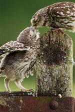 Owls, baby bird feeding