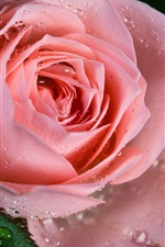 Preview iPhone wallpaper Pink rose flower, dew, close-up