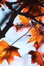 Preview iPhone wallpaper Red maple leaves, autumn, tree, sunlight