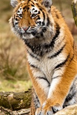 Preview iPhone wallpaper Siberian tiger, predators, trees