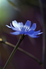 Single flower, blue cornflower, glare, bokeh