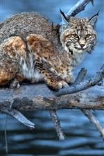 Preview iPhone wallpaper Water, twigs, predator, lynx, look
