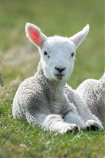 Preview iPhone wallpaper White sheep, lambs, grass