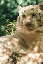 Preview iPhone wallpaper Animals, white tiger