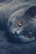 Preview iPhone wallpaper British shorthair cat look