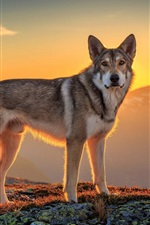 Preview iPhone wallpaper Dog, sunset