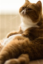 Preview iPhone wallpaper Fat cat relaxation