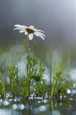 Preview iPhone wallpaper Grass, white flower, daisy, puddle, after the rain