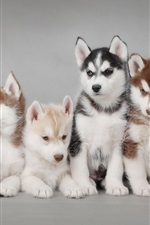 Preview iPhone wallpaper Husky dogs, puppies