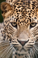 Preview iPhone wallpaper Leopard face close-up, eyes
