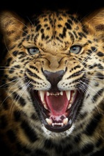 Preview iPhone wallpaper Leopard snarl close-up