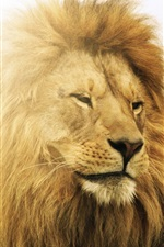 Preview iPhone wallpaper Lion in sun