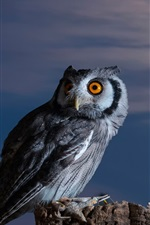 Preview iPhone wallpaper Owl, moon, bird at night