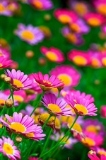 Preview iPhone wallpaper Pink flowers, daisies, summer