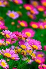 Flores rosas, margaridas, verão