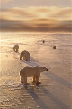 Preview iPhone wallpaper Polar bears, cold, winter, snow, sunset