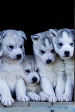 Preview iPhone wallpaper Puppies, husky dogs look out