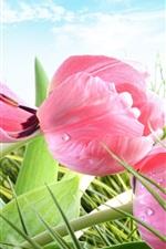 미리보기 iPhone 배경 화면 봄, 핑크 꽃, 잔디, 튤립