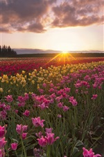 Preview iPhone wallpaper Summer, tulip flowers, fields, sun rays, morning, dawn