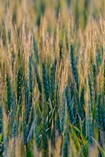 Preview iPhone wallpaper Wheat fields, grass, nature scenery
