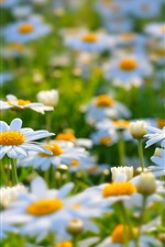 White daisies, meadow, summer, nature, flowers