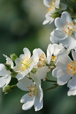 Preview iPhone wallpaper White flowers bloom, spring, glare