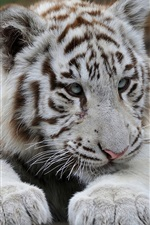 Preview iPhone wallpaper White tiger, predator