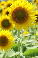 Aperçu iPhone fond d'écranTournesols jaunes, la lumière du soleil