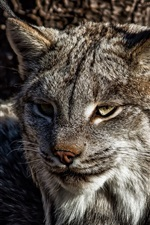 Preview iPhone wallpaper A predator, lynx, cat