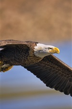 Preview iPhone wallpaper Bald eagle, bird, predator fish, flying, wings