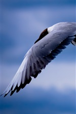 Preview iPhone wallpaper Birds, seagull, flying, blue sky