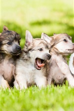 Cute dogs, puppies, grass, lawn