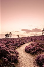 Preview iPhone wallpaper Derbyshire, England, fields, lavender, trees, road, evening
