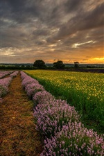 Preview iPhone wallpaper England, UK, Hampshire, fields, flowers, lavender, night, sunset