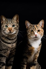 Preview iPhone wallpaper Four cats, gray striped, black background